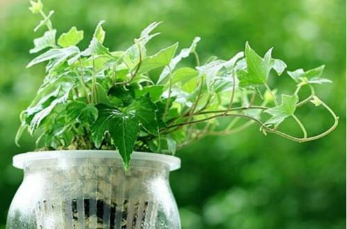 常春藤如何水培 常春藤水培养殖方法和注意事项(图)
