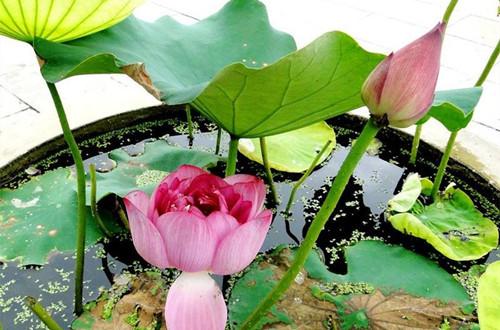 荷花盆栽怎么种植 盆栽荷花怎么养及注意事项有