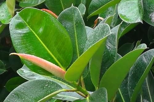 橡皮树刻芽后怎么养护 橡皮树刻芽后的养护方法和注意事项(图)