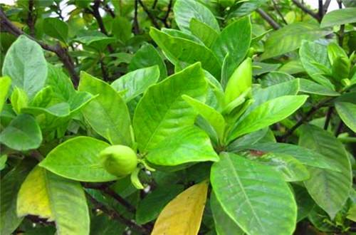 栀子花叶子发黄是怎么回事 栀子花叶子发黄怎么
