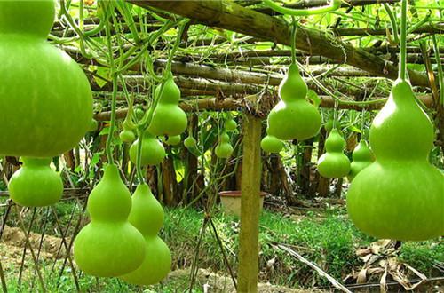 葫芦种子怎么种 葫芦种子怎么催