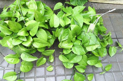 绿箩用什么土比较好养 养绿萝的土怎么配(图)