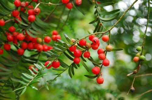红豆杉叶子干枯是怎么回事 红豆