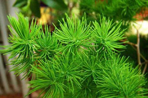 <b>蓬莱松盆栽怎么养 蓬莱松盆栽的养殖方法和注意事项(图)</b>