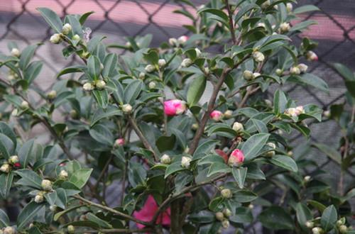 茶梅盆景怎么养护 茶梅盆景的养