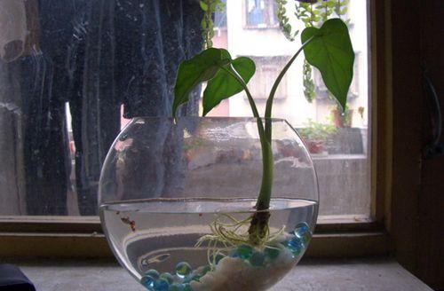 水培滴水观音叶子软垂怎么办 水培滴水观音叶子都软了怎么回事(图