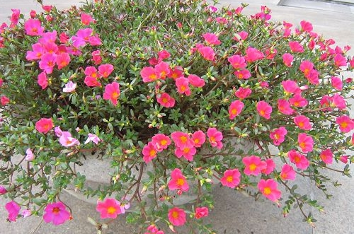 新手养什么花好 适合新手种植的花有哪些(图)