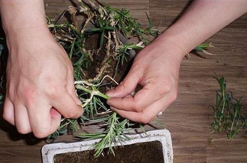 康乃馨怎么土插 康乃馨土插方法