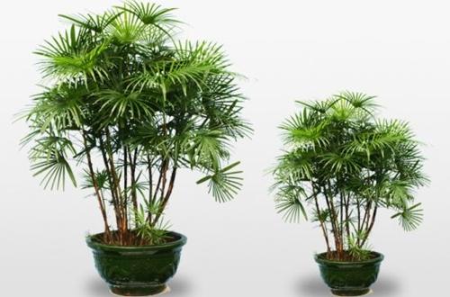棕竹叶子干枯是怎么回事 棕竹叶