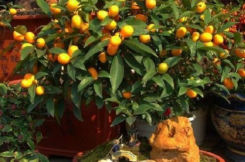 金桔树叶子发黄是怎么回事 金桔