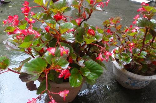 四季海棠叶子枯萎是怎么回事 四