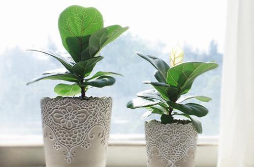 琴叶榕怎么养 琴叶榕的养殖方法