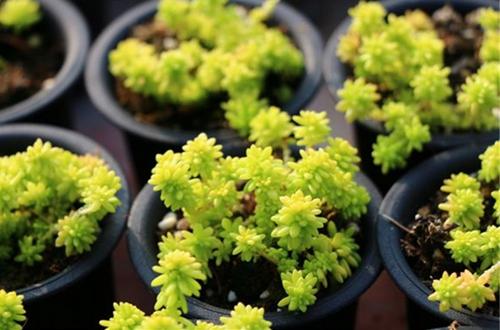 黄金草怎么养 黄金草的养殖方法