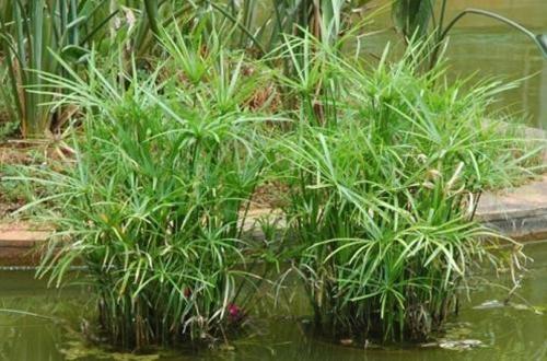 水竹怎么养 水竹的养殖方法和注