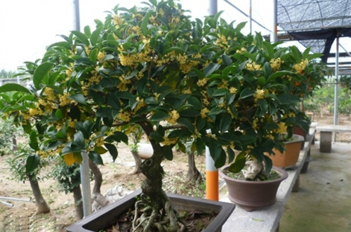 桂花树施肥用什么肥料 桂花树的