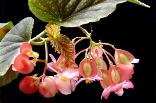 竹节海棠怎么养 竹节海棠的养殖方法和注意事项(图)