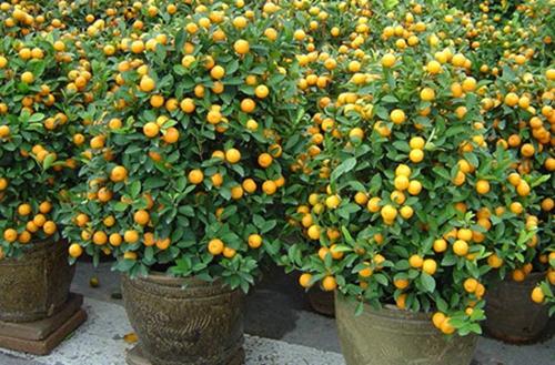金桔盆景叶子发黄掉落是什么原因