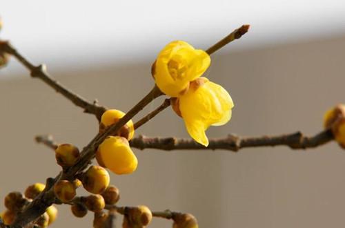 盆栽腊梅什么时候修剪 腊梅盆栽如何修剪(图)