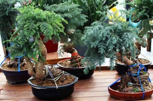 澳洲杉盆景的养殖方法 澳洲杉盆景怎么修剪(图)