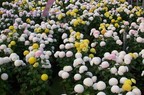 乒乓菊怎么养 乒乓菊的养殖方法