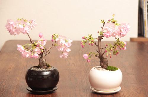 樱花盆景怎么养护 樱花盆景的养护方法(图)