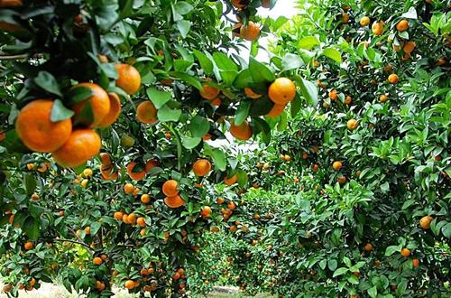 橘子怎么种植 橘子的种植技术(图)