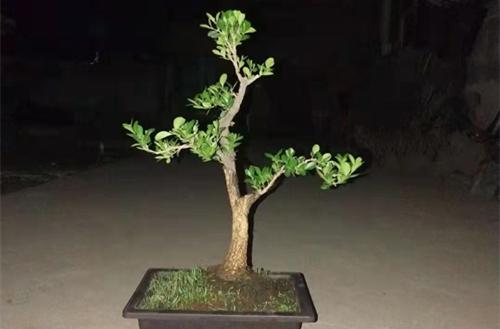 小叶黄杨怎么养 小叶黄杨盆景怎么制作呢(图)