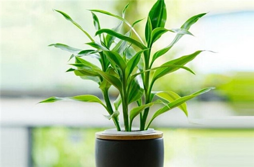 家里财位,按风水来讲放什么植物?