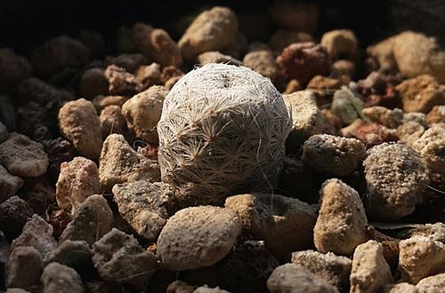 实生仙人球的播种记录(图)