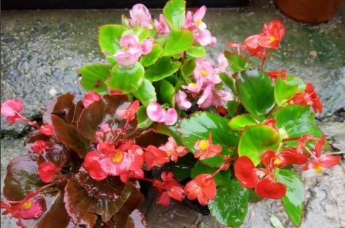 四季海棠不开花什么原因 四季海棠不开花怎么办