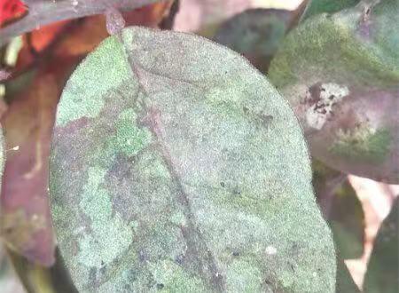 柚子树叶子膏药病和烟煤病怎么