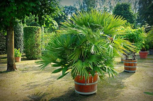 盆栽棕榈怎么养护 盆栽棕榈的养护方法有哪些(图)