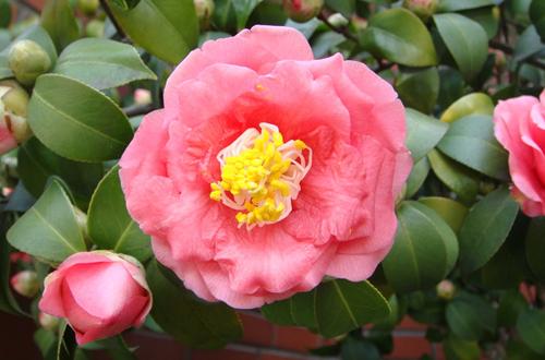山茶花没有肥开花花朵太小了,用什么肥?开花时能施肥吗?
