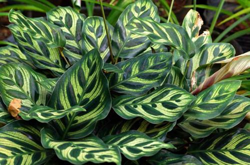 竹芋叶子干尖是什么问题,该怎么养护,注意什么?