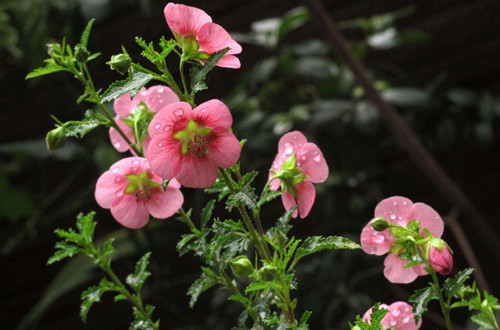 木槿冬天是不是会掉叶子?要怎么养护才能安全过冬?