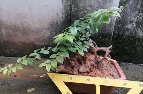 老桩盆栽在北方没暖气的房子里能过冬天吗?怎样才能安全过冬?