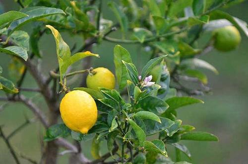 """盆栽种果""""有关键"""",这3大点要注意!养护得好,花朵叶绿果多多"""