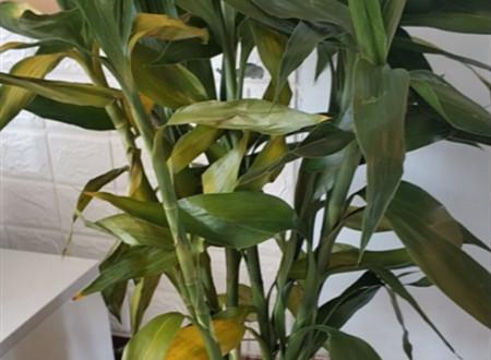 刚买的富贵竹总也不生根,叶子都发黄了,这个怎么办呢?