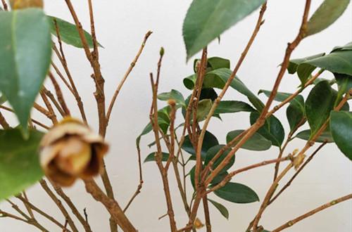 刚上盆不久的茶花开始掉叶子、打卷是什么原因?如何处理!