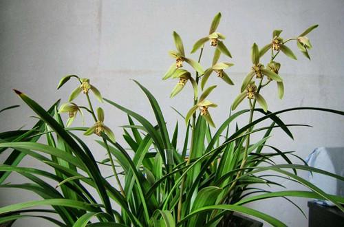 兰花养了多年还不开花怎么回事?注意这些养护细节,就能开花!