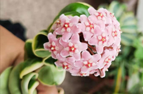 球兰花养了一两年了为啥从不开花?这三点原因,一定要了解!