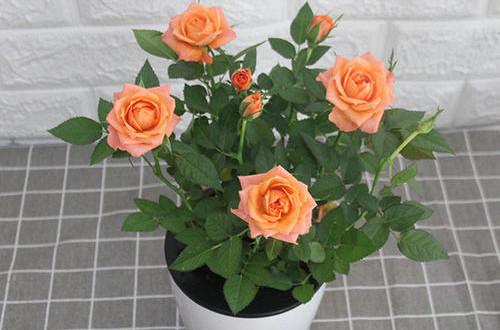 钻石小玫瑰换盆后的养护很重要,养好了花开不停!