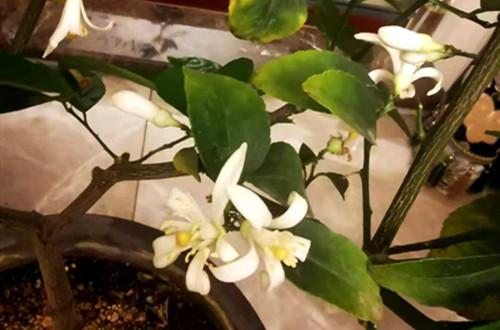 柠檬树开花后怎么才有果呢?要怎么保果?开花后要怎么养?