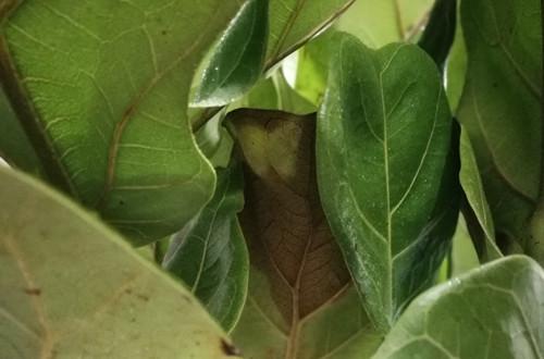 琴叶榕冬天怎么养护?注意这几点细节,就能绿油油,安全过冬!