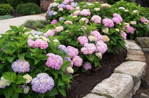 冬天绣球花需要施肥吗?绣球花冬天这样养,就能安全过冬!