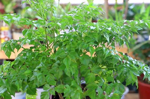 幸福树怎么长得不茂盛?五点养护方法,就能长得又粗又茂盛!