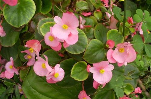 四季海棠冬季怎样养护?学会这5点养护方法,可以开一整个冬天!