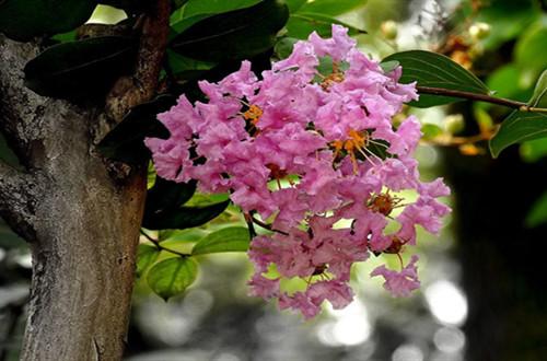 冬天紫薇树叶子全黄了,接下来怎么处理好?怎么修剪?