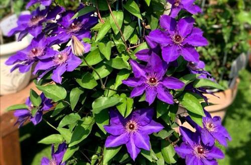 铁线莲好养又漂亮的7个品种,值得新手入手!