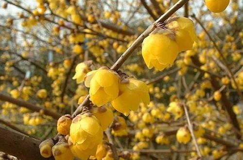 腊梅什么时候种植好?这两个季节别错过,不然要等很久!